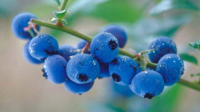 Growing-blueberries-pictureshunt.com_