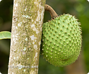 Guyabano fruit acknowledged as a miracle cure for cancer